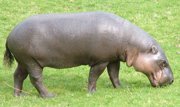 Hippo Facts - Animal Facts Encyclopedia