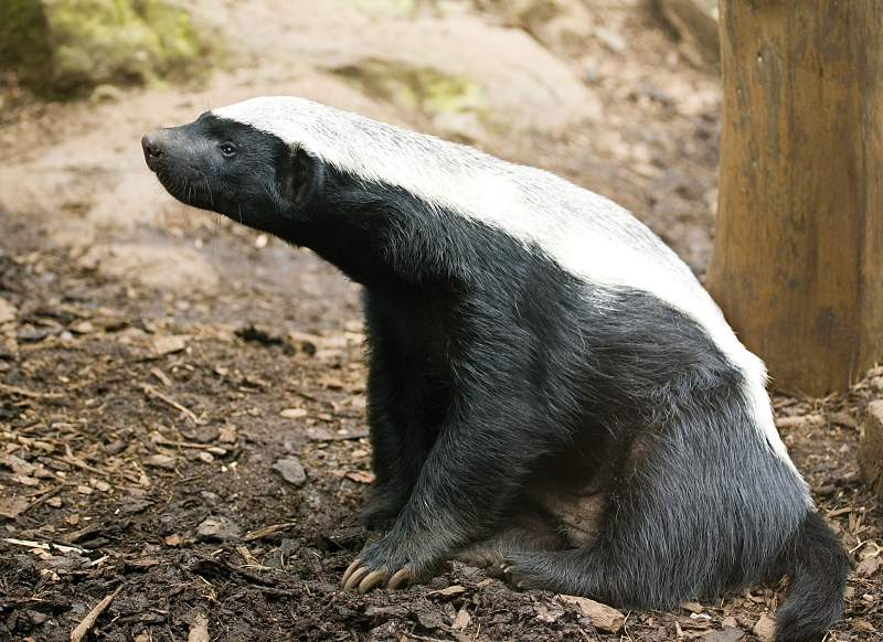 alert African honey badger