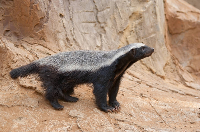 honey badger by rocks