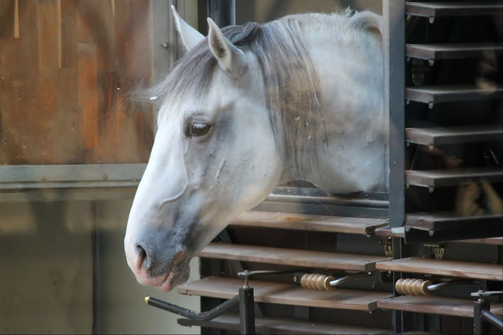 grey draft horse