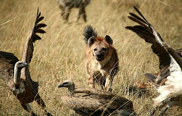 Hyena Facts Cat Or Dog