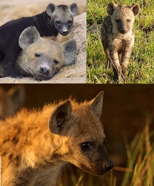 hyena mother and baby