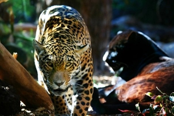 jaguar and black panther