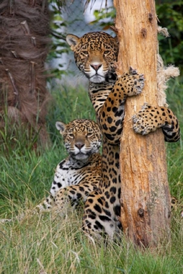Jaguar facts animal facts encyclopedia jaguar reproduction voltagebd Gallery