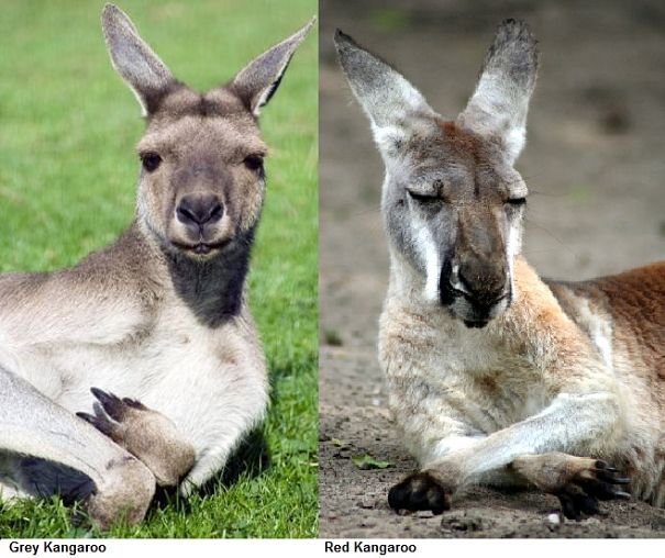 kangaroo comparison red and grey