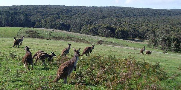 grey kangaroo mob