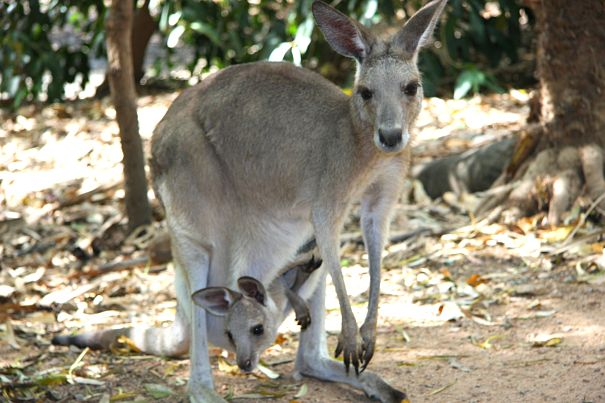 kangaroo mother and joey