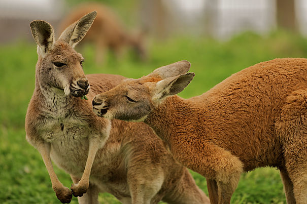 Kangaroo Facts Animal Facts Encyclopedia