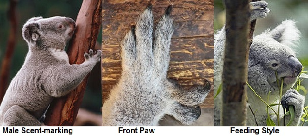 koala foot closeup