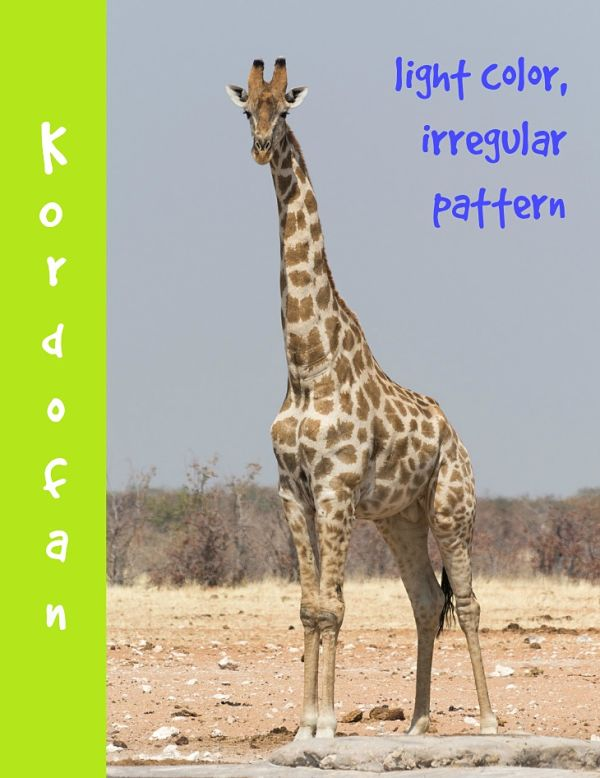 kordofan giraffe description
