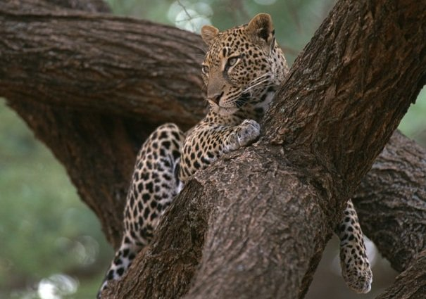 Leopard Facts Animal Facts Encyclopedia