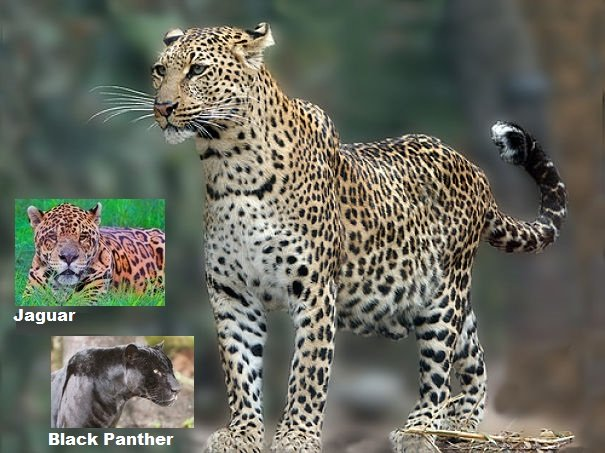 leopard jaguar comparison