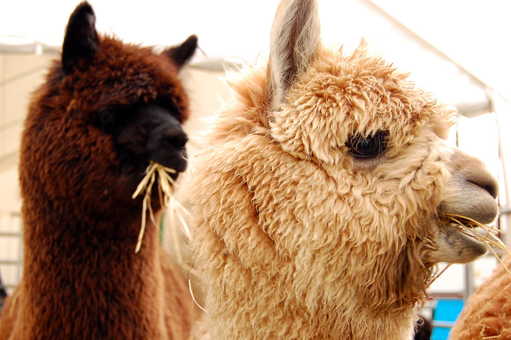 alpacas closeup