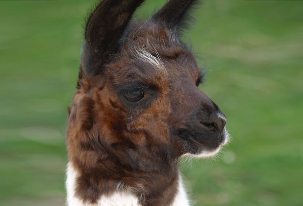 a baby llama is called a cria