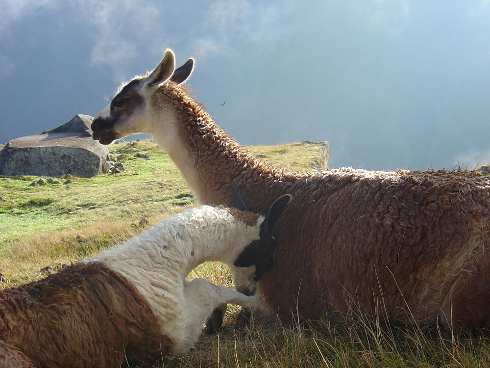 llama mother and shy cria