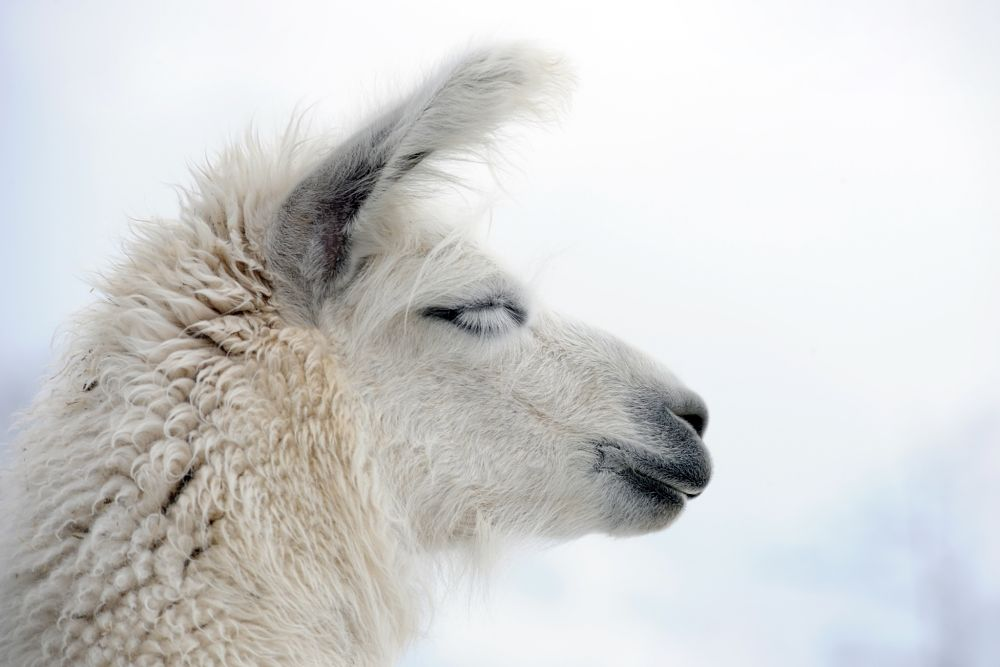 beautiful white llama