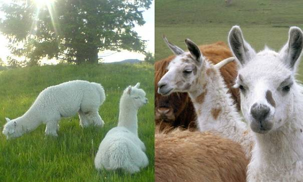 alpacas and llamas