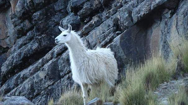 llama on a mountain