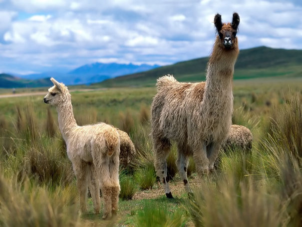 llama mother and cria