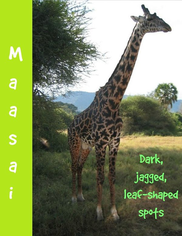 maasai giraffe description