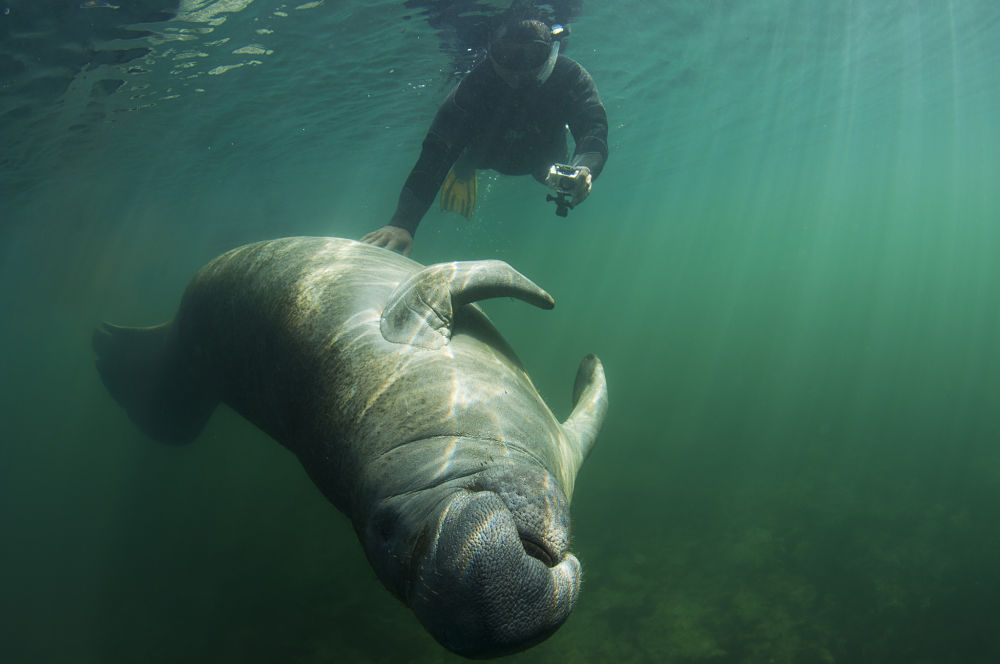 manatee getting a belly rub
