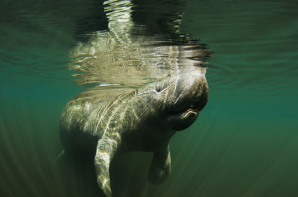 manatee taking a breath
