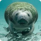 manatee facts