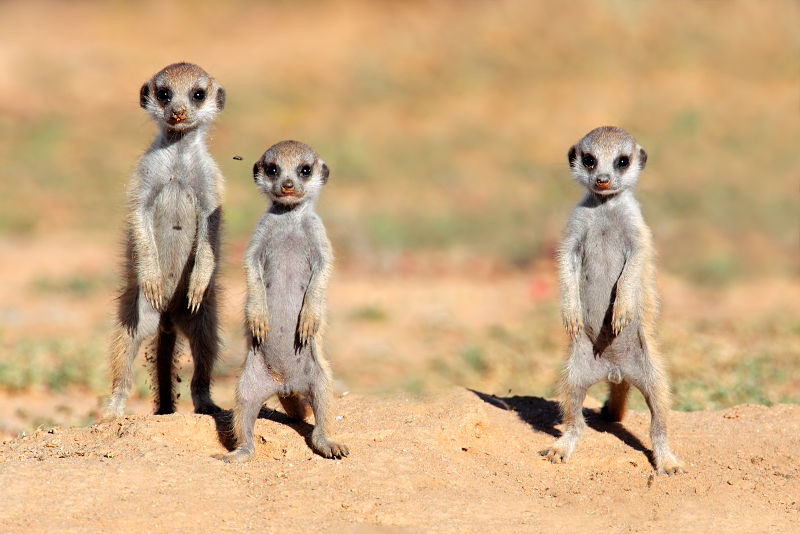 baby meerkats on sentry duty