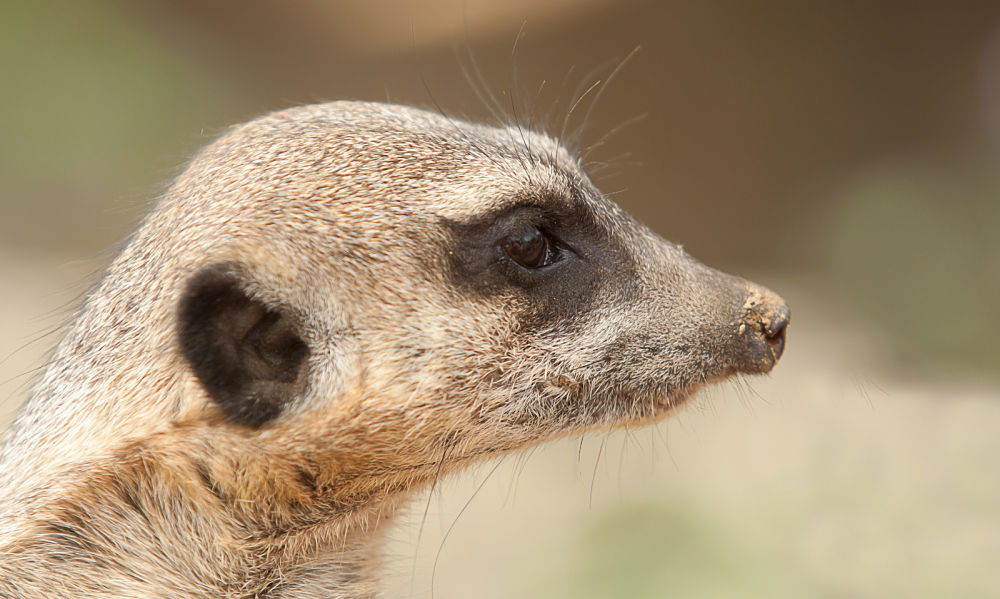 why do meerkats make different calls