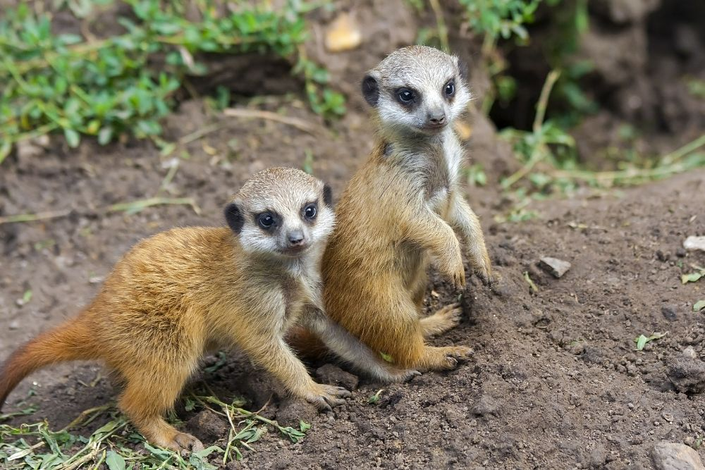 two meerkat babies by the den door