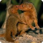 mongoose facts