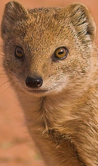 Mongoose Facts Animal Facts Encyclopedia