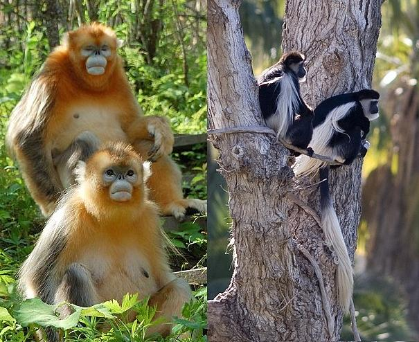 Golden monkeys and black and white colobus monkeys