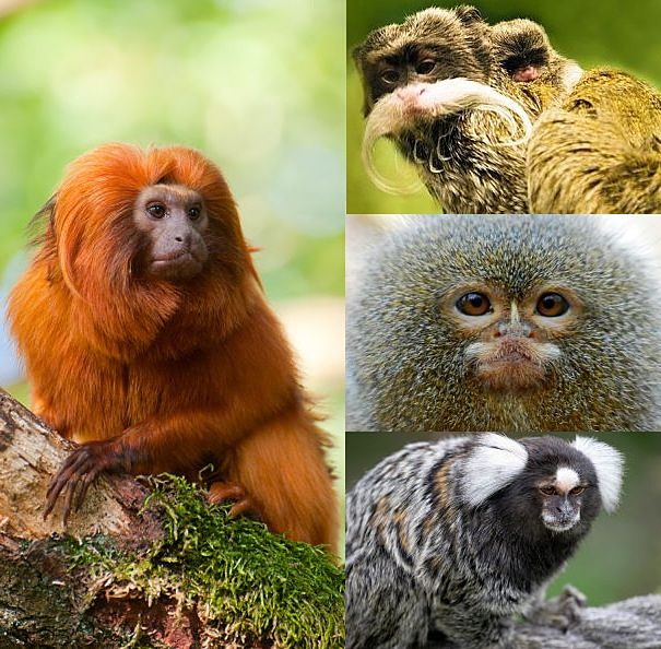 Golden lion tamarin, Emporer tamarin, pygmy marmoset, cotton-ear marmoset
