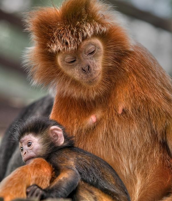 Javan Langur with infant