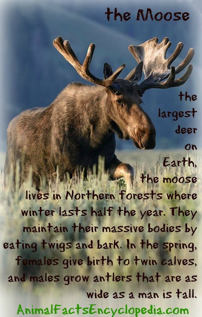 Moose Facts Animal Facts Encyclopedia