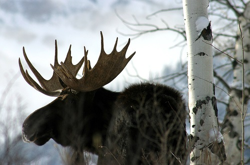 bull moose in the snow