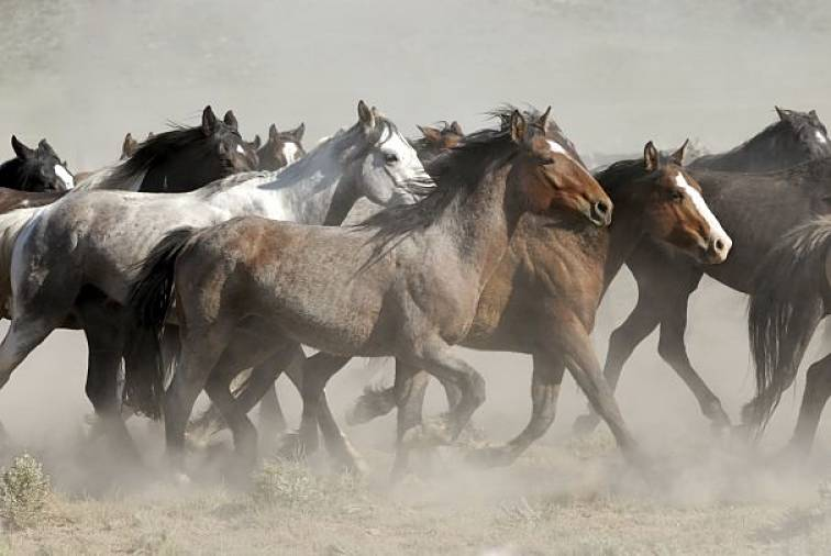 herd of mustangs