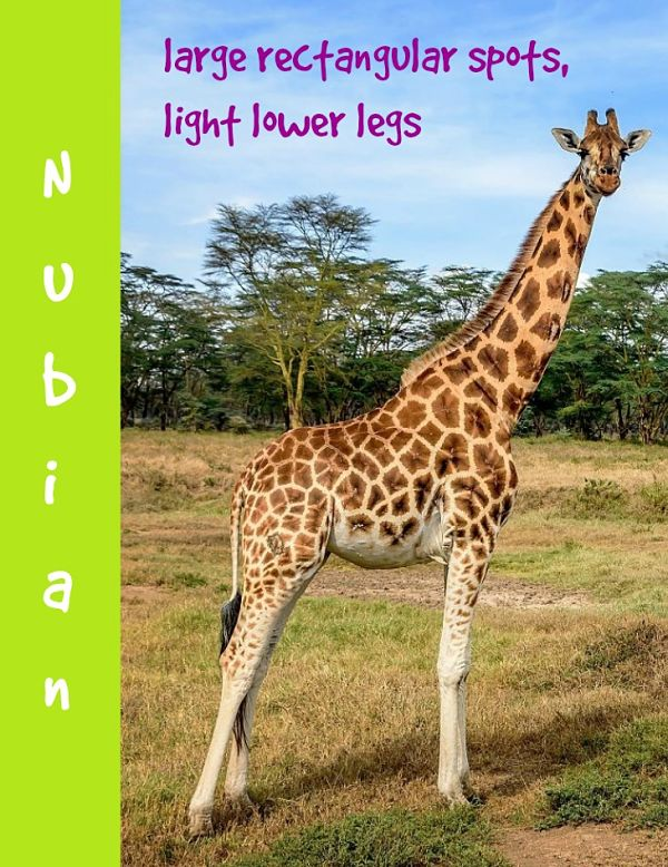 Nubian giraffe description
