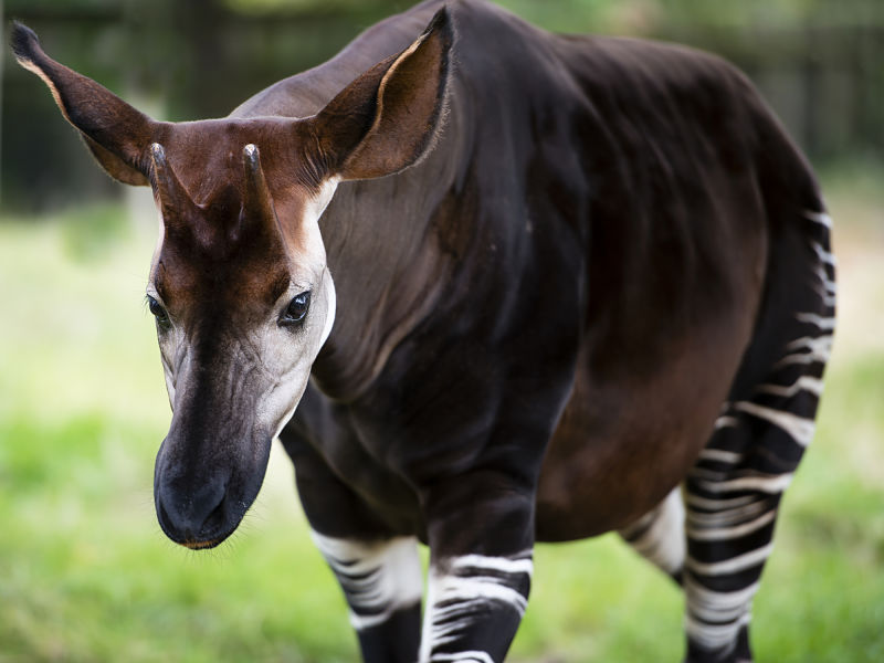 okapi walking toward camera