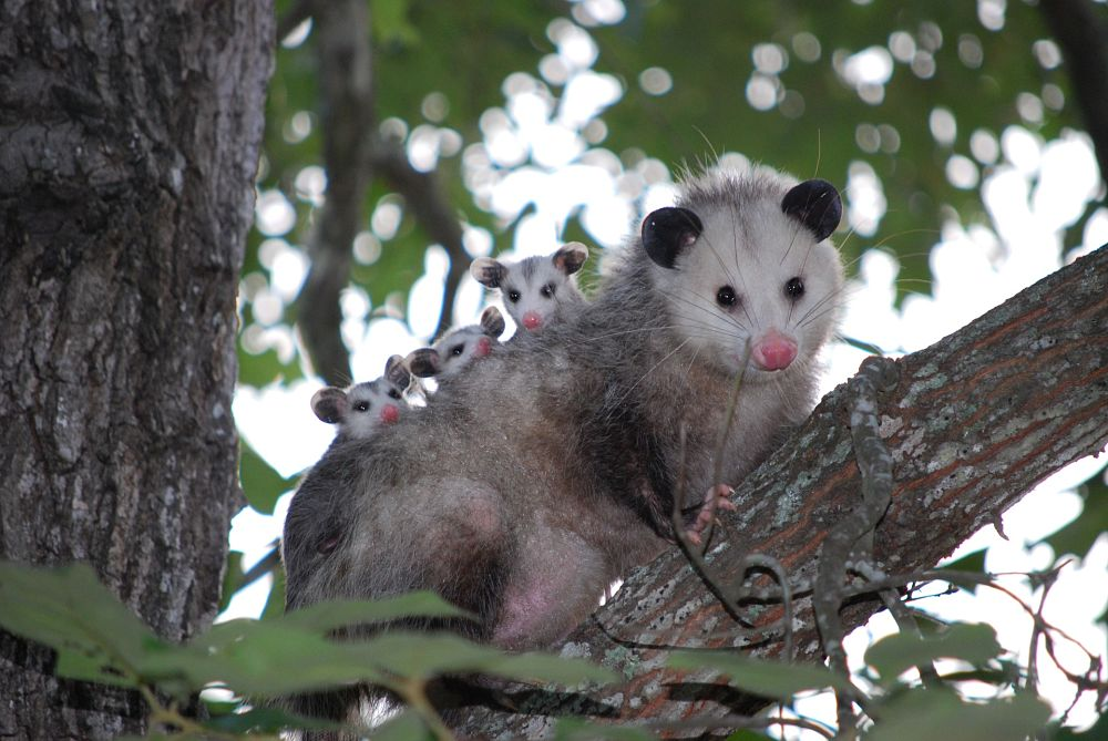 opossum mother and baby