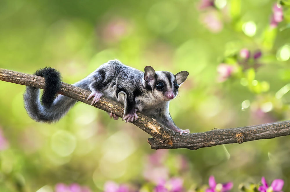 possum - sugar glider