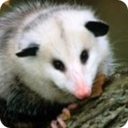 opossum facts