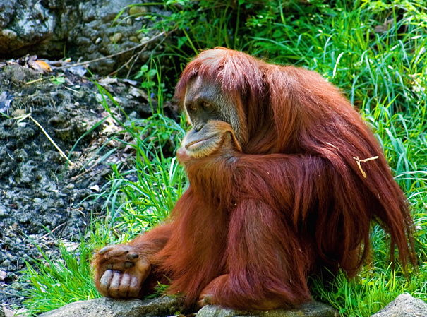 Sumatran orangutan deep in thought