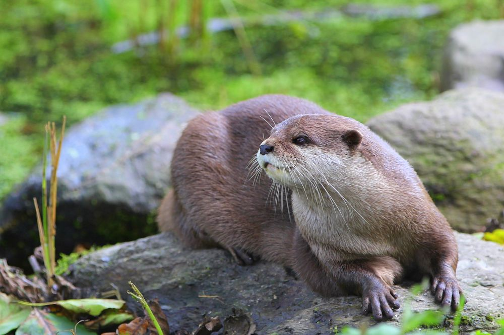 beautiful river otter