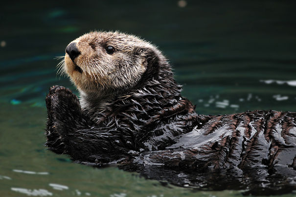 sweet sea otter
