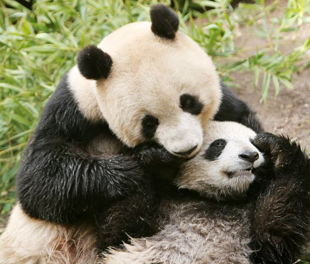 panda mother and baby hugging
