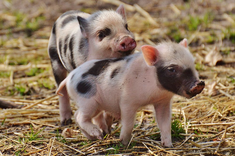 Pig Facts - Animal Facts Encyclopedia