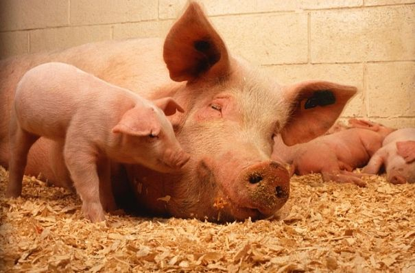 pig mother and baby