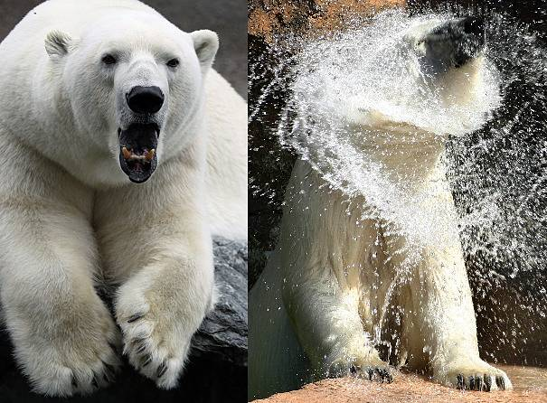 awesome polar bears